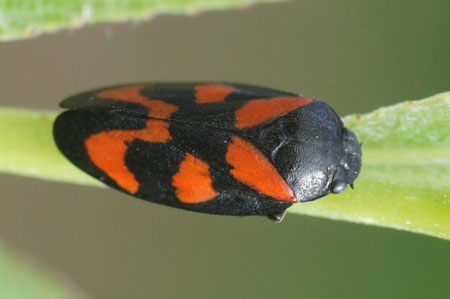 Red-and-black Froghopper (Cercopis vulnerata). Family Cercopidae.
