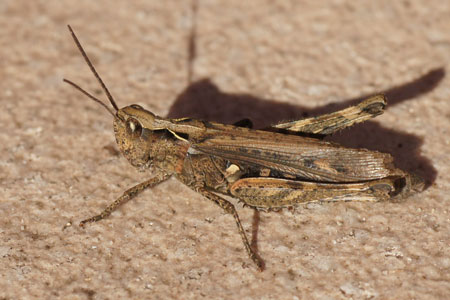 Chorthippus biguttulus-group. Family Acrididae. Female. Common field grasshopper (Chorthippus brunneus), bow-winged grasshopper (Chorthippus biguttulus) and Chorthippus mollis