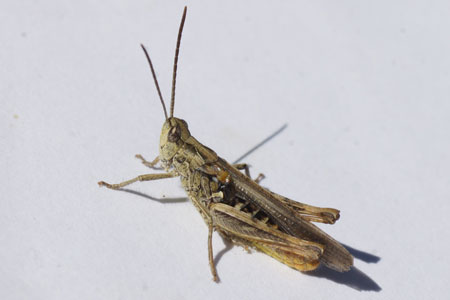 Common Field Grasshopper (Chorthippus brunneus). Family Acrididae.