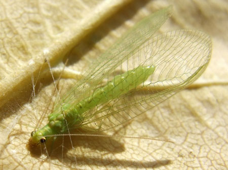 Green lacewing  (Chrysoperla carnea). Family Chrysopidae. Order Neuroptera.