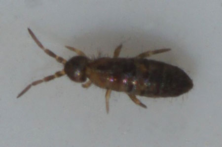 Heteromurus major. Family Entomobryidae. Class springtails (Collembola).