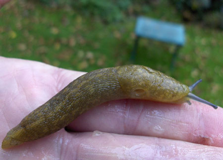 The Yellow Slug ( Limacus flavus synonym Limax flavus)