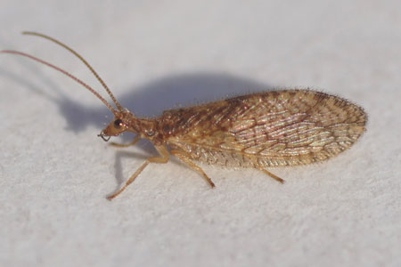 Micromus angulatus. Family brown lacewings (Hemerobiidae). Order Neuroptera.