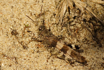 Blue-winged grasshopper (Oedipoda caerulescens). Subfamily Oedipodinae. Family Acrididae.