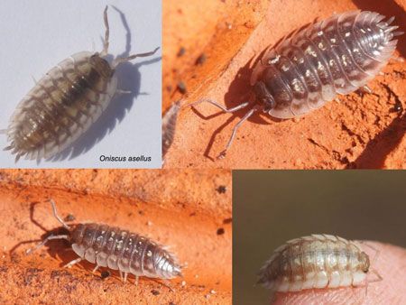 Common woodlouse (Oniscus asellus). Family Oniscidae.