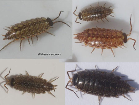 Common striped woodlouse, fast woodlouse (Philoscia muscorum). Family Philosciidae.