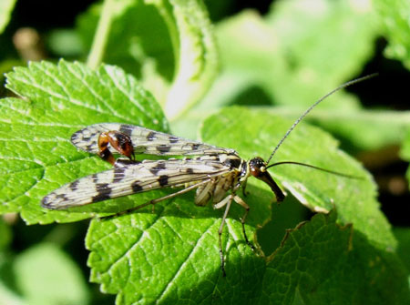 Scorpion fly, Panorpa vulgaris. Male. Family scorpion flies (Panorpidae).