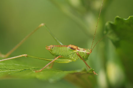 Speckled bush-criket  (Leptophyes punctatissima). Male. Family bush-criket (Tettigoniidae).