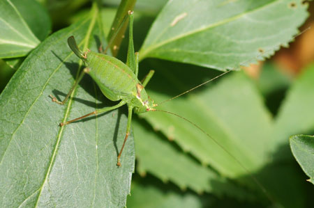 Speckled bush-criket  (Leptophyes punctatissima). Female. Family bush-criket (Tettigoniidae).