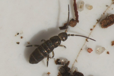Tomocerus minor. Family Tomoceridae. Class springtails (Collembola).
