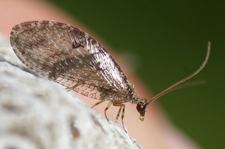 Wesmaelius spec. Family brown lacewings (Hemerobiidae). Order Neuroptera.