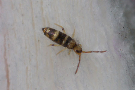 Willowsia platani. Family Entomobryidae. Class springtails (Collembola).