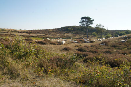 Heideschapen in de duinen.