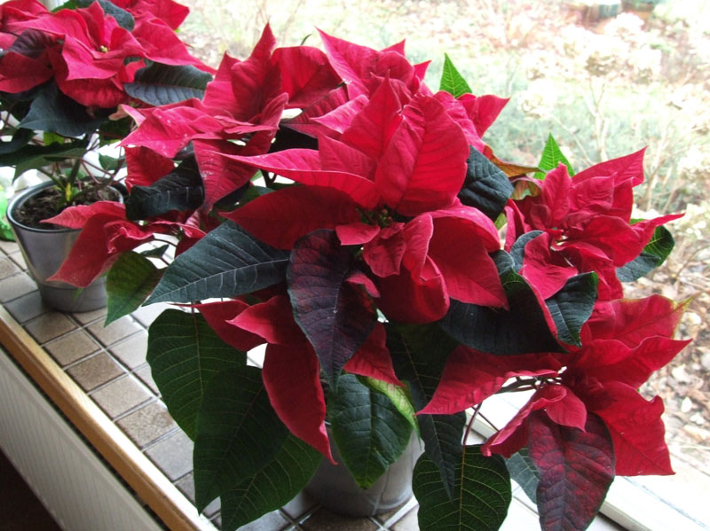 Pointsettia, Christmas flower, Lobster flower, Mexican flame leaf. (Euphorbia pulcherrima)