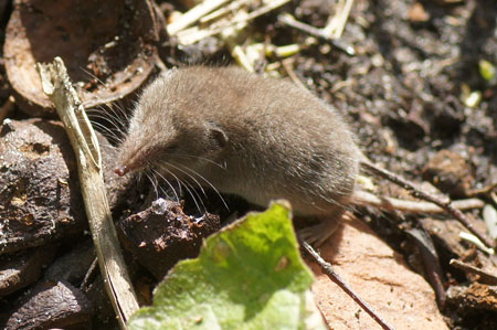 Greater White-toothed Shrews (Crocidura russula). Family Soricidae. September 2012.