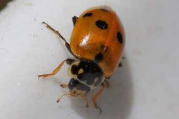 Variegated Lady beetle (Hippodamia variegata). Subfamilie typical ladybirds (Coccinellinae). Family ladybirds / ladybugs (Coccinellidae).