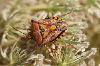 Carpocoris.  Family Stink bugs (Pentatomidae).