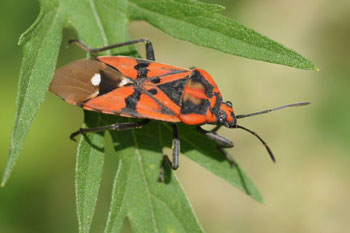 Lygaeus pandurus (nowadays also called Spilostethus)