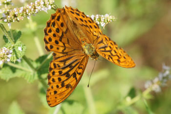 Silver-washed Fritillary (Argynnis paphia)  Family Nymphalidae