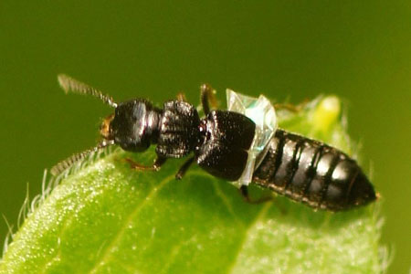 Anotylus spec. Subfamily Oxytelinae. Family Rove beetles (Staphylinidae).