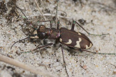 Northern dune tiger beetle (Cicindela hybrida). Subfamily Tiger beetles (Cicindelinae). Family Ground beetles (Carabidae).