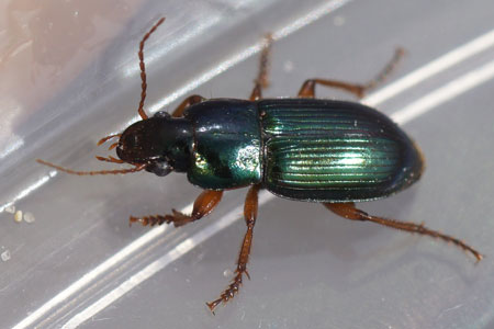 Harpalus affinis. Subfamily Harpalinae. Family Ground beetles (Carabidae).