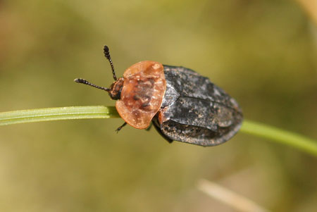 Oiceoptoma thoracicum. Subfamily Nicrophorinae. Family Carrion or burying beetles (Silphidae).