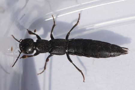 Tasgius spec. Subfamily Staphylininae. Family Rove beetles (Staphylinidae).