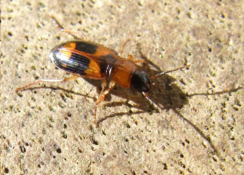 Badister lacertosus. Subfamily Badistrinae. Family: Ground beetles (Carabidae).