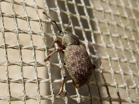 Probably Clay-coloured weevil Otiorhynchus singularis but Otiorhynchus veterator is also possible.