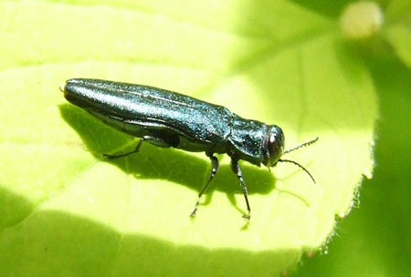 Agrilus, probably agrilus cyanescens  Family jewel beetles or metallic wood-boring beetles (Buprestidae)