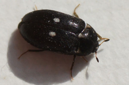 Fur beetle, carpet beetler (Attagenus pellio). Family: Dermestidae.