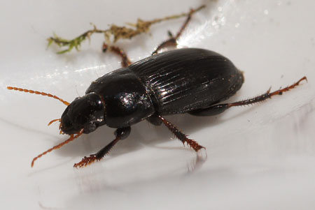 Harpalus. Subfamily Harpalinae. Family Ground beetles (Carabidae).  Maybe Harpalus tardus.