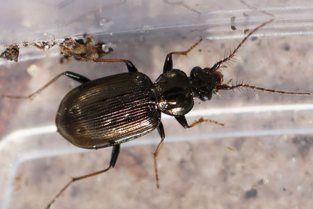 Loricera pilicornis. Subfamily Loricerinae. Family: Ground beetles (Carabidae).