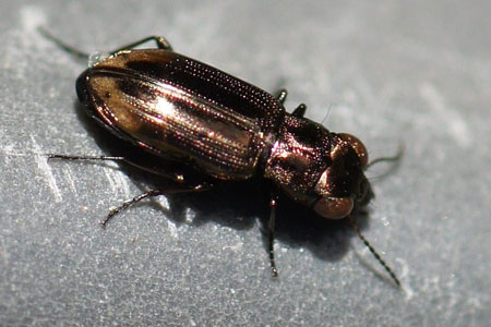 Notiophilus spec. Subfamily Nebriinae. Family Ground beetles (Carabidae).