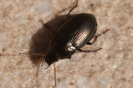 Amara spec. Subfamily Pterostichinae. Family Ground beetles (Carabidae).