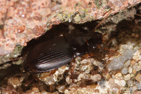 Harpalus. Subfamily Harpalinae. Family Ground beetles (Carabidae).  Maybe Strawberry seed beetle, Harpalus rufipes.