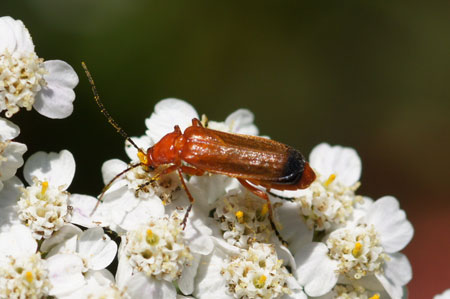 Common red soldier beetle (Rhagonycha fulva). Family Soldier beetles (Cantharidae)