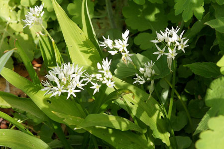 Wild garlic (Allium ursinum). Amaryllis family (Alliaceae).