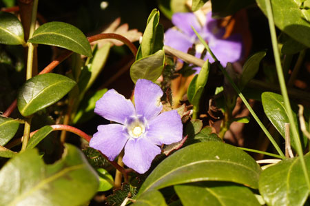 Lesser periwinkle, Dwarf periwinkle, Small periwinkle, Common periwinkle, Creeping myrtle (Vinca Minor). Dogbane family (Apocynaceae).