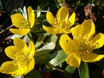 Winter Aconite (Eranthis hyemalis). Buttercup family, crowfoot family (Ranunculaceae).
