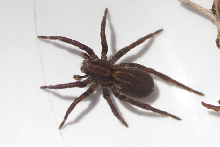 Common fox-spider (Alopecosa pulverulenta). Family wolf spiders (Lycosidae).