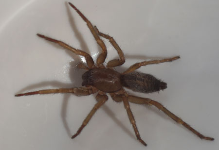 Clubiona corticalis. Family Sac Spiders (Clubionidae). Female.