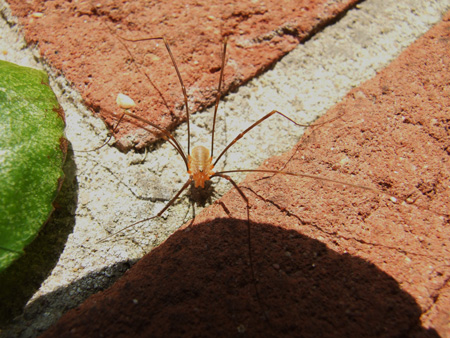 Red Harvestman, Opilio canestrinii  male
