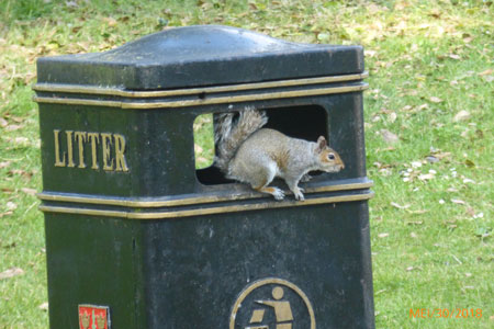 Colchester Castle and park. Eekhoorn, squirrel