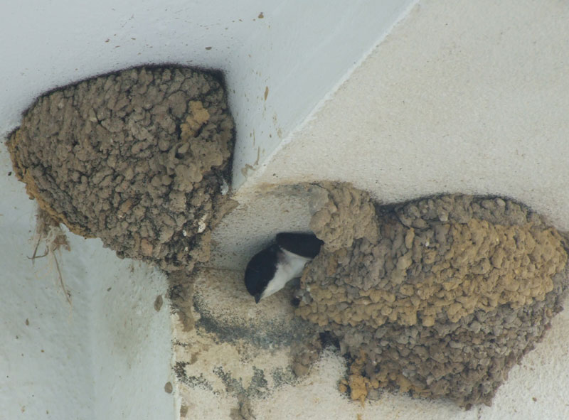 Swallows at the hotel.