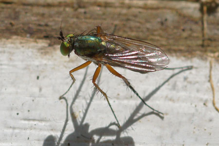 Dolichopus ungulatus. Family long-legged flies (Dolichopodidae)