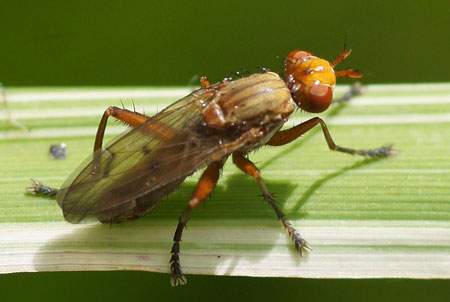 Marsh fly, snail-killer spec, Tetanocera spec. Family Sciomyzidae.