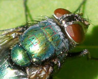 Greenbottle. Family Blow-flies (Calliphoridae). hairs