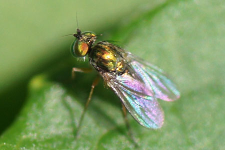Chrysotus spec. Family long-legged flies (Dolichopodidae).